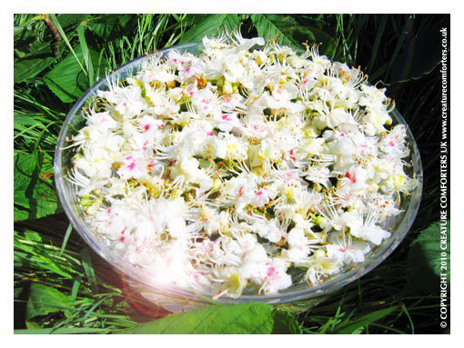 White chestnut bach flower remedy for incessant intrusive and white chestnut bach flower remedy for incessant intrusive and troubling thoughts creature comforters ltd mightylinksfo