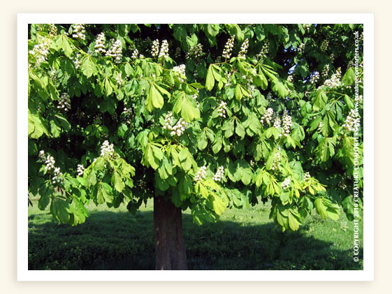 White chestnut bach flower remedy for incessant intrusive and the 38 bach flower remedy pages mightylinksfo
